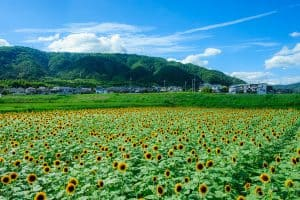 sunflower field with a valley in the background