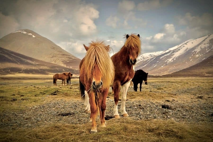 horses in iceland in front of a mountain range