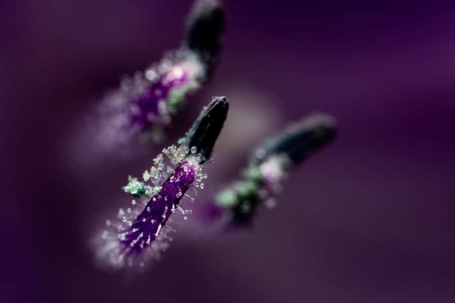 macro photogaph of flower pistils